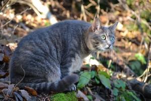 Aksjon avblåst: Gråtigret katt gjenfunnet