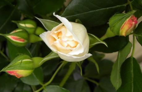 My rosebush