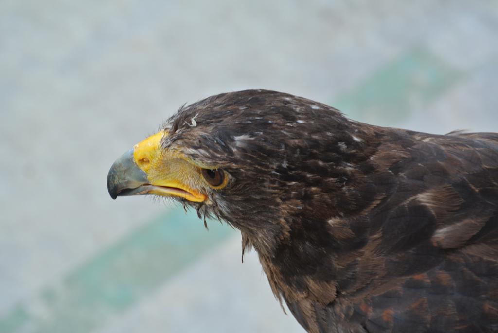 Eagle-Terra-Natura-Benidorm