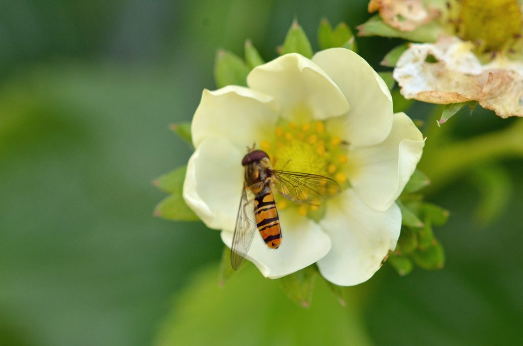Dobbeltbåndet blomsterflue